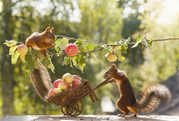 squirrel Pair Romance With Apples Pics